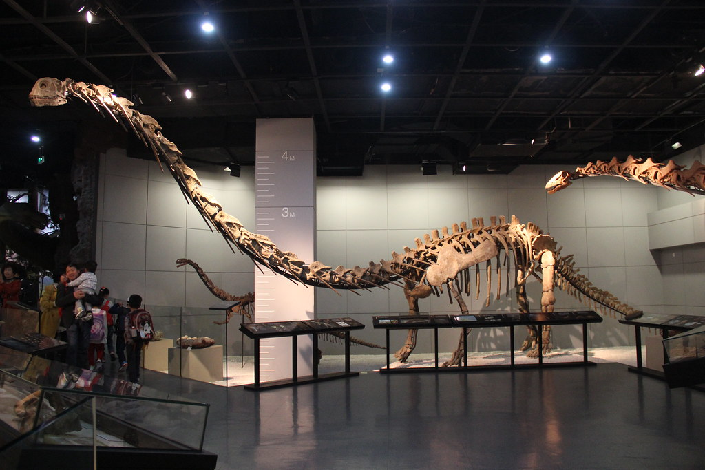 skeletons of long necked dinosaurs with people observing on the left