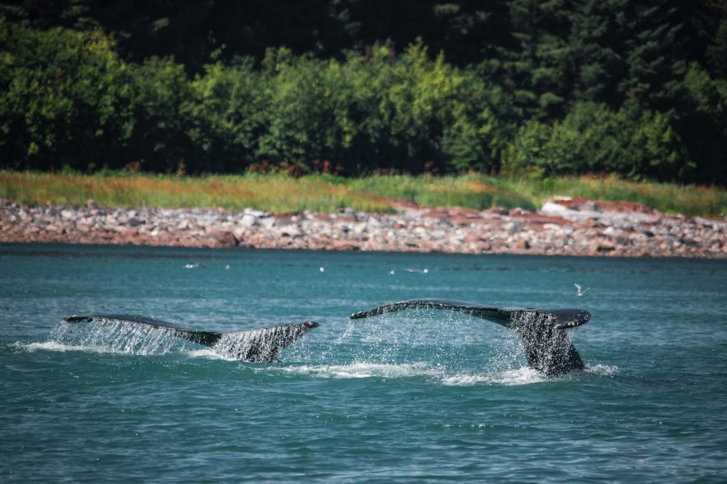 whales' tails above the water's surface