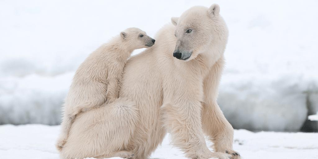 a baby polar bear and a parent polar bear in the snow