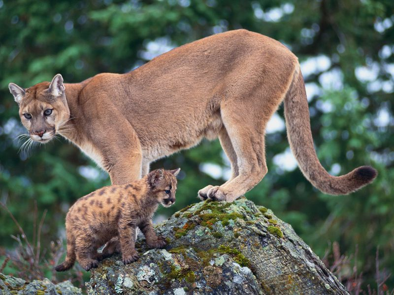 a brown mother cougar with her baby