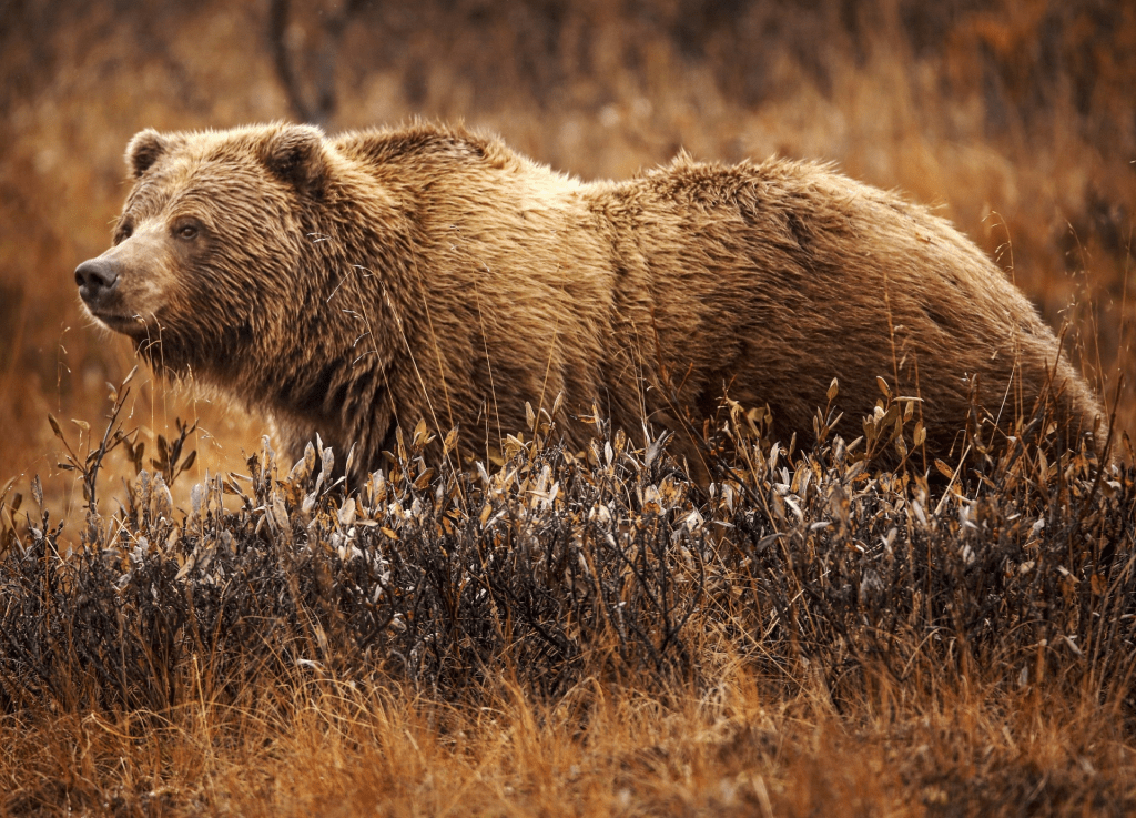 a grizzly bear in the grass