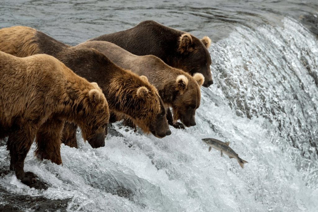several bears is catching fishes
