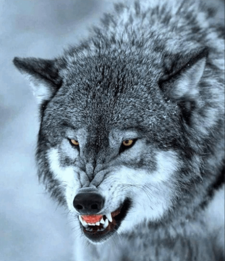 the head of a gray wolf