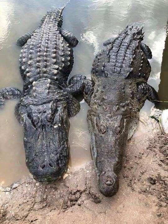 two crocodilesin the water