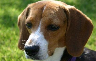 The Playful Beagle Dog
