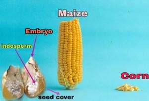 कॉर्नफ्लोर किसे कहते हैं | What is cornflour in Hindi