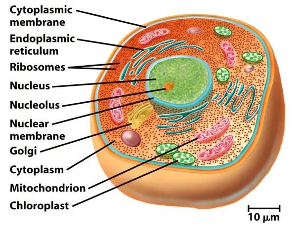 A Eukaryotic Cell
