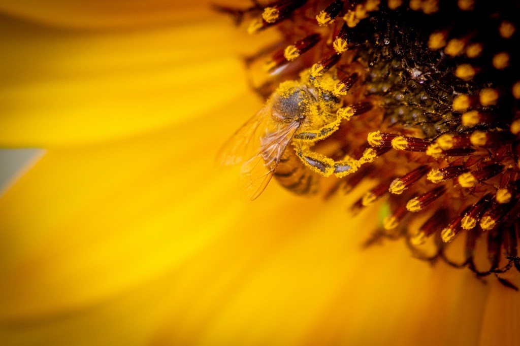 A honeybee sucking nectar from a flower and while doing so the yellow powdered pollen grains got attached to its body
