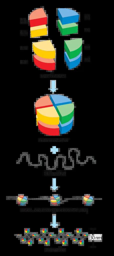 Basic units of chromatin structure