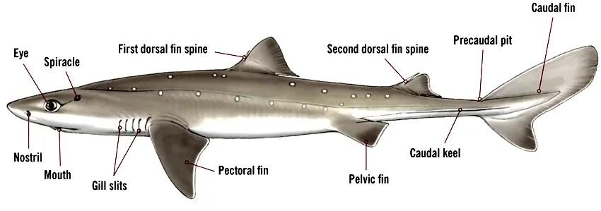 Identification of a female shark