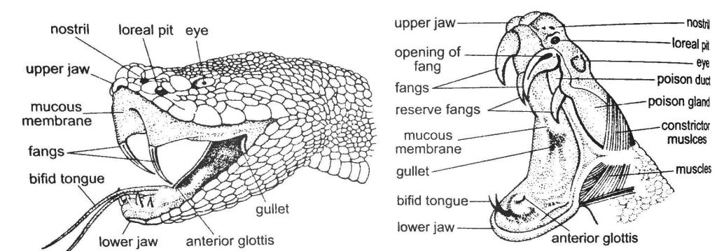 Snake Mouth Parts