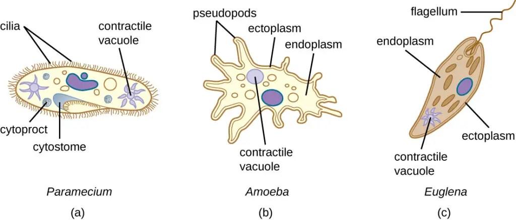 Contractile Vacuole in Paramecium, Amoeba, and Euglena
