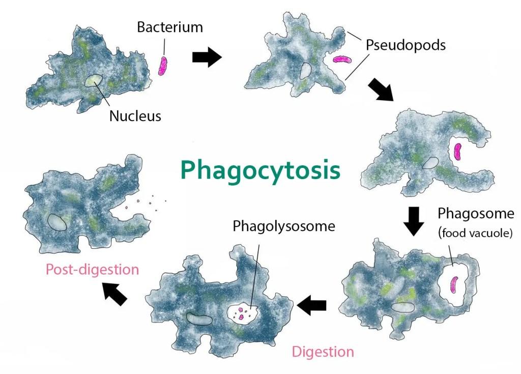 Phagocytosis by Amoeba to obtain food