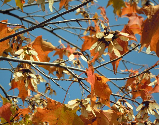 Sugar maple samaras and leaves in autumn; leaves are red and brown.