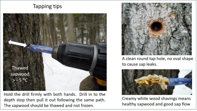 """Tapping tips. There are 3 photos. The leftmost photo shows a drill with a piece of blue tubing covering part of it. The exposed part is buried in the tree. A label on the photo says """"thawed sapwood >-5 degrees Celcius"""". The caption says """"Hold the drill firmly with both hands. Drill in to the depth stop then pull it out following the same path. The sapwood should be thawed and not frozen"""". The second image shows a taphole. The caption says """"A clean round tap hole, no oval shape to cause sap leaks"""". The third image is a drill bit with white wood shavings on it. The caption says """"creamy white wood shavings means healthy sapwood and good sap flow""""."""