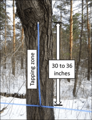 A blue lateral tube coming out of a tree, attached to a blue mainline tube. An arrow indicates that the length of the lateral tube is 30 to 36 inches and that area is the tapping zone.
