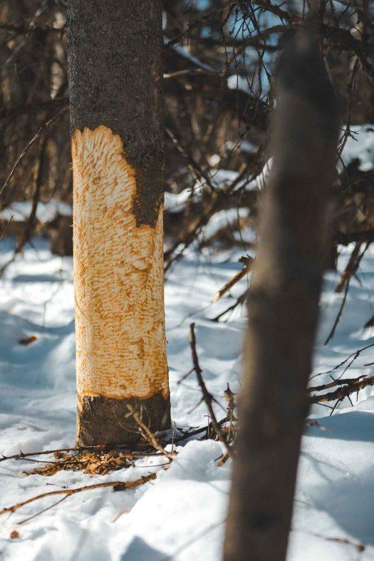 Arbre rongé par un castor dans le Parc de la Gatineau au Québec