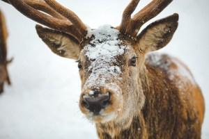 Portrait d'un cerf sous la neige au parc Oméga au Québec en hiver