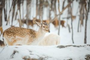 Daim dans le Parc Oméga en hiver