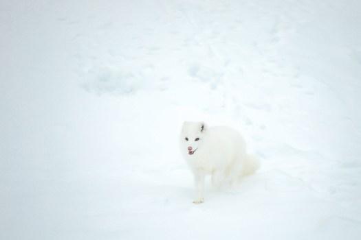 renard polaire dans le Parc Oméga au Québec en hiver