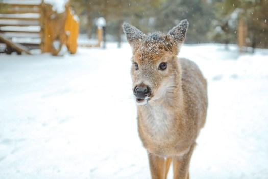 Portrait d'un cerf de Virginie sous la neige dans le parc oméga en hiver