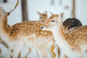 Animaux dans le parc oméga au Québec l'hiver