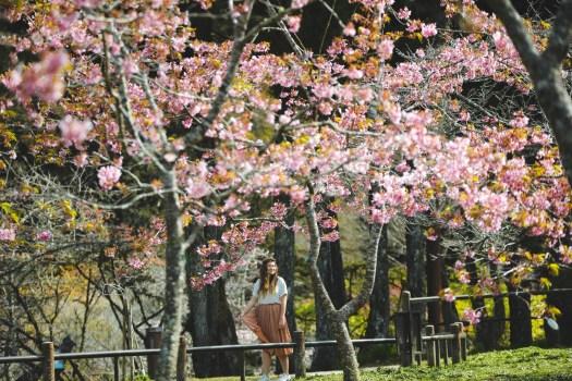 cerisiers en fleurs Taïwan blog