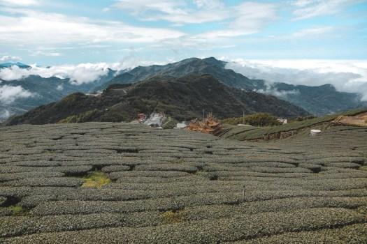 Plantations de thé Alishan Taïwan blog