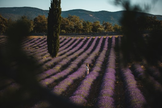 champs de lavande var chateau martinette lorgues