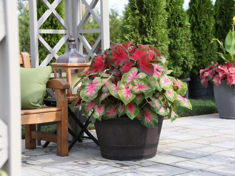 colorful caladiums brighten shade