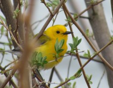 Bird of the Day: Prothonotary Warbler. Photo by Mitchell Nusbaum