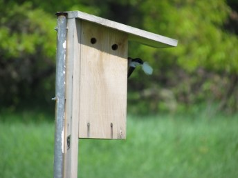 Tree Swallow bringing a feather into the nest box.