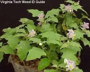 Here's a picture of horsenettle from the Virginia Tech Weed Id Guide provided by Scott Hagood. Read more about horsenettle at http://www.ppws.vt.edu/scott/weed_id/solca.htm