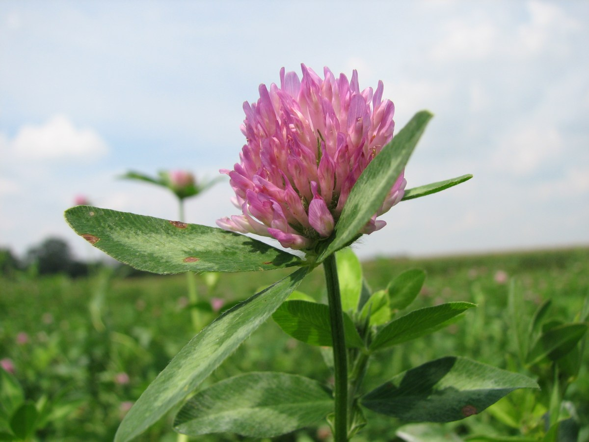 Frost Seeding Red Clover In Hay Fields And Pastures 171 On