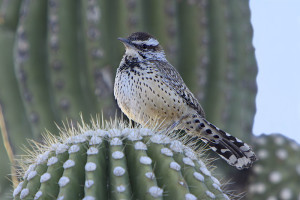 The cactus wren is one of the birds suffering from the result of large fires and reduced habitat in San Diego County