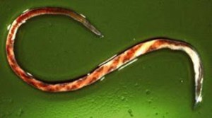 Barberpole worm (Haemonchus contortus) from http://bio390parasitology.blogspot.com/2012/03/haemonchus-contortus-bite-in-gut.html