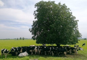 800px-Cows_under_a_tree