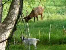 My two pet goats never seem to find sharing their pasture with the elk.