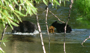 Here the cub carries the chicken his mom caught as they wade through the creek.  Isn't he cute?!