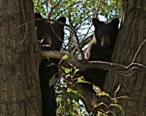 Two of our neighborhood bears