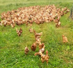 "Forrest's 1,100 ""mob"" of free-range egg-layers."
