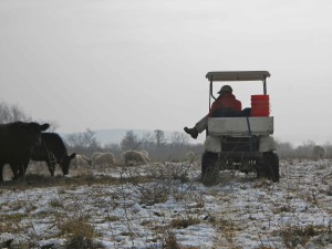 Observing the cattle and sheep on a wintery day in January