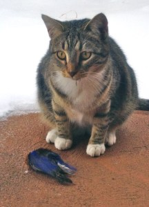 During the second week of snow storms, my cat Molly found the bluebird of happiness dead on our deck.  It was the time in April when the lazuli buntings migrate through and they just couldn't make through the snow.