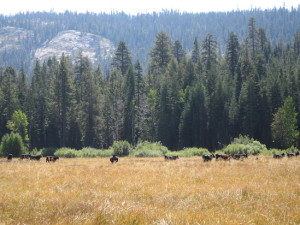 Cattle graze a meadow on Plumas National Forest. Photo by Anne Yost, US Forest Service.