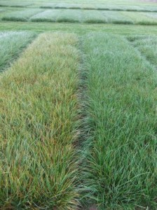 Ryegrass susceptible to crown rust (left) next to ryegrass resistant to crown rust (right). Picture from:http://www.afbini.gov.uk