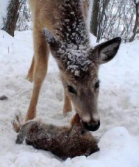 Birds aren't the only creatures deer might eat.  Here one dines on a bunny.