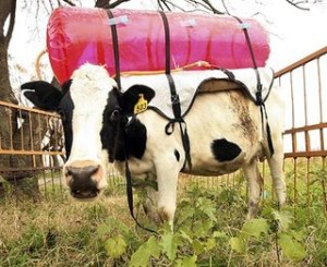 This is a cow in an Argentine experiment where they collect the methane as the cow grazes in pasture to use it later.