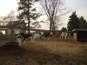 Calves in pasture