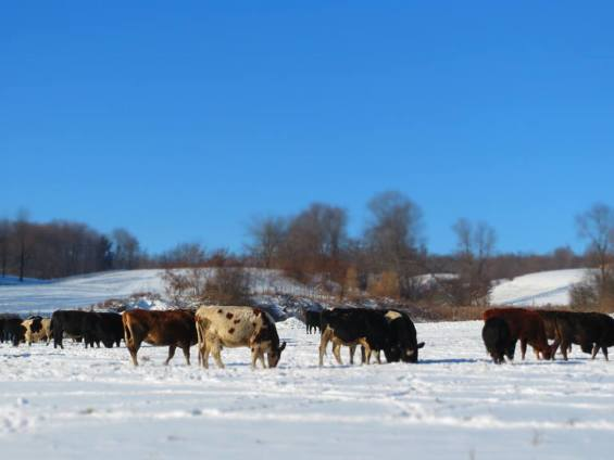 The cattle don't mind the white stuff.