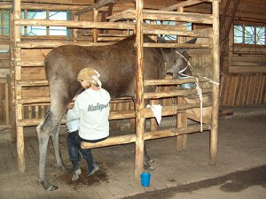 Milking a moose at Kostroma Moose Farm.  Photo courtesy of the Kostroma Farm Web Site.